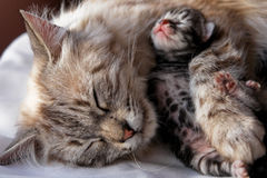 Cat and kitten hug Royalty Free Stock Photos