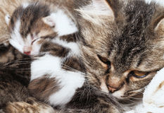 Cat and kitten hugs Royalty Free Stock Image