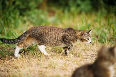 Cat Kitten Hunting In Green Grass Outdoor At Sunny Summer Evening Royalty Free Stock Photos