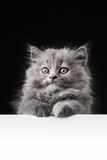 Cat or kitten isolated behind signboard Royalty Free Stock Image