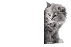 Cat or kitten isolated behind wall Stock Photography
