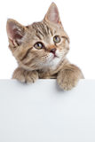 Cat kitten looking up above white banner isolated Stock Photo