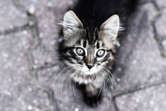 Cat, kitten looking up, close-up kitten, cat eyes Royalty Free Stock Photo