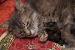 Cat and Kitten Love Royalty Free Stock Image