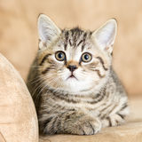 Cat kitten lying on the couch. Scottish cat kitten lying on the couch Stock Photos