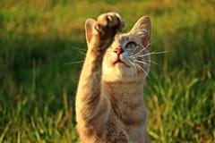 Cat, Kitten, Paw, Talon, Tiger Cat Royalty Free Stock Photos