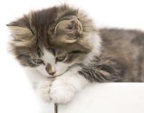 Cat kitten pets domestic Stock Images