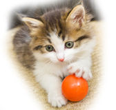 Cat kitten pets domestic Royalty Free Stock Photography