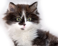 Cat kitten pets domestic Stock Image
