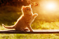 Cat / kitten playing in the garden on a wooden board sitting bac Royalty Free Stock Images