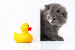 Cat or kitten and rubber duck isolated behind signboard Stock Image