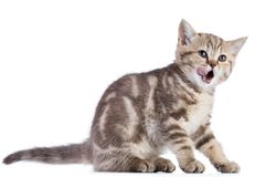 Cat kitten sitting licked open mouth isolated on white Royalty Free Stock Photo