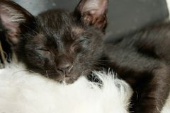 Cat kitten sleep black Stock Photography