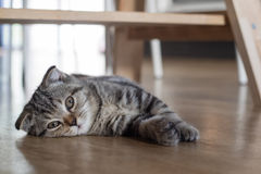 Cat kitten sleep on wood floor Stock Photos