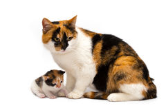 Cat with a kitten Royalty Free Stock Images