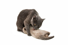 Cat with a kitten Royalty Free Stock Photography