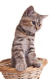 Cat kitten white little nice pet Royalty Free Stock Photo