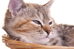 Cat kitten white little nice pet Royalty Free Stock Photography