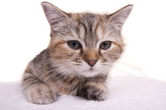 Cat kitten white little nice pet Stock Photo