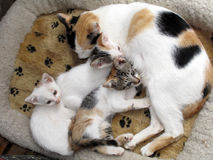 Cat & Kittens. A mother cat and kittens snuggled up together Royalty Free Stock Photos