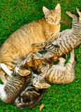 Cat with kittens. Cat with offspring lying in the grass Royalty Free Stock Image