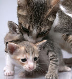 Cat and kittens Stock Image