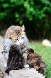 Cat and kittens Stock Images