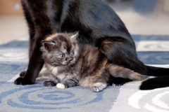 Cat with kittens. Royalty Free Stock Photography