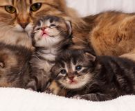 Cat with kittens Stock Photography