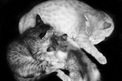 Cat and kittens feeding B/W Royalty Free Stock Photography