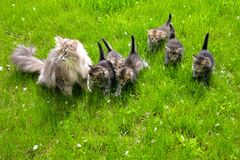 Cat with kittens on a green lawn Stock Photography