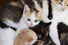 Cat and kittens Royalty Free Stock Images