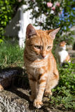 Cat and kittens in Italy and Greece, Mediterranean cats, cute animals and pets. Royalty Free Stock Photography