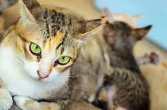 Cat and kittens. Cat lying near kittens Royalty Free Stock Photography