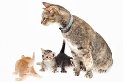 Cat and kittens. Mother cat and kittens on white background Stock Images