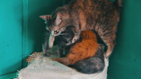 Cat with Kittens in Nature. Homeless Cat with Kittens in Nature. Mom cat licks her kittens on the street. Full HD 1920 x 1080p, 29,97 fps stock footage