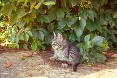Cat and kittens ordinary breed. Companion animals, pets. Cat ordinary breeds, gray cat, wild paint, cat litter, stray cats on street (in wild grapes), feline stock images