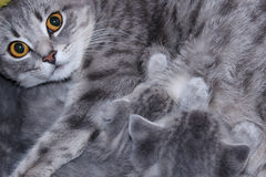 Cat with kittens of Scottish Straight breed Stock Image