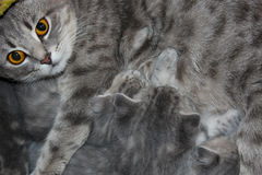 Cat with kittens of Scottish Straight Royalty Free Stock Image
