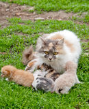 Cat and kittens Royalty Free Stock Photos