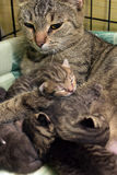 Cat with kittens. Striped cat with cute kittens royalty free stock images