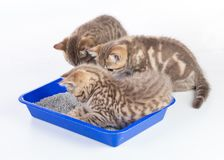 Cat kittens in toilet tray box with litter isolated. On white royalty free stock photography