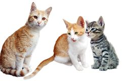 Cat and kittens on white Royalty Free Stock Photo