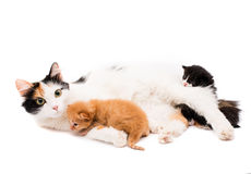 Cat with kittens Royalty Free Stock Images