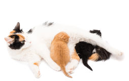 Cat with kittens Royalty Free Stock Photos