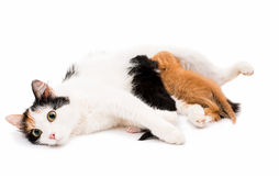 Cat with kittens Royalty Free Stock Photography