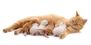 Cat with kittens. Cat with kittens on a white background Royalty Free Stock Photo