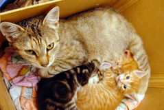 Cat with kitties Stock Images