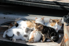 Cat with kitties. Cat with five kitties taking a rest in sunshine. One of the kittens is watching something Stock Images