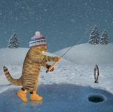 Cat caught a fish in winter. The cat in a knitted hat and boots catches fish on ice of a frozen lake in the forest royalty free stock photography